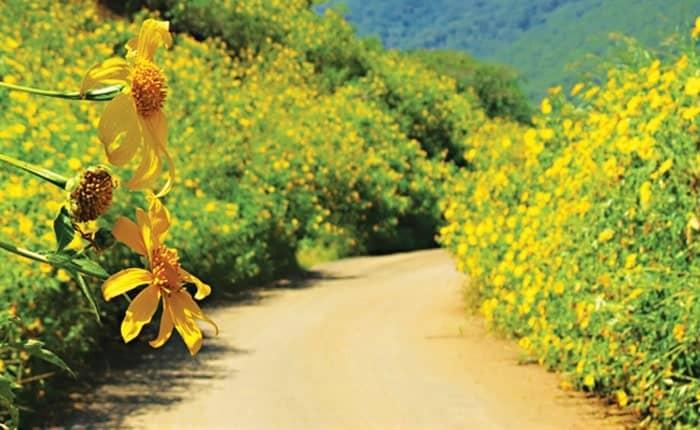 Mùa hoa dã quỳ tại Mộc Châu