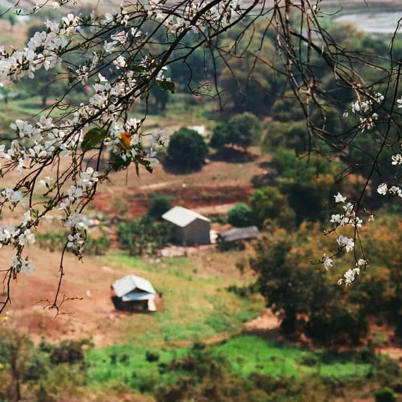 Du lịch Mộc Châu tháng 3 - Mùa hoa ban nở