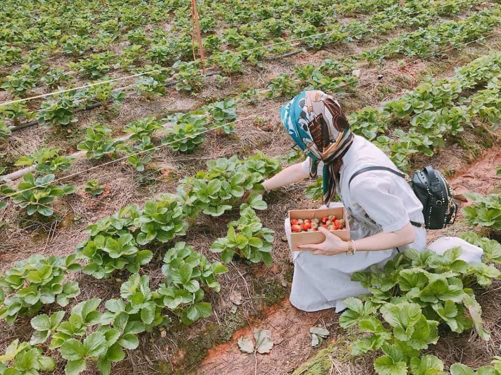 Vườn dâu tây uy tín ở Đà Lạt