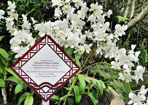 Dendrobium Memoria Princess Diana tại Vip Garden