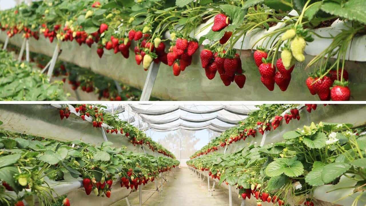 Vườn dâu tây Đà Nẵng