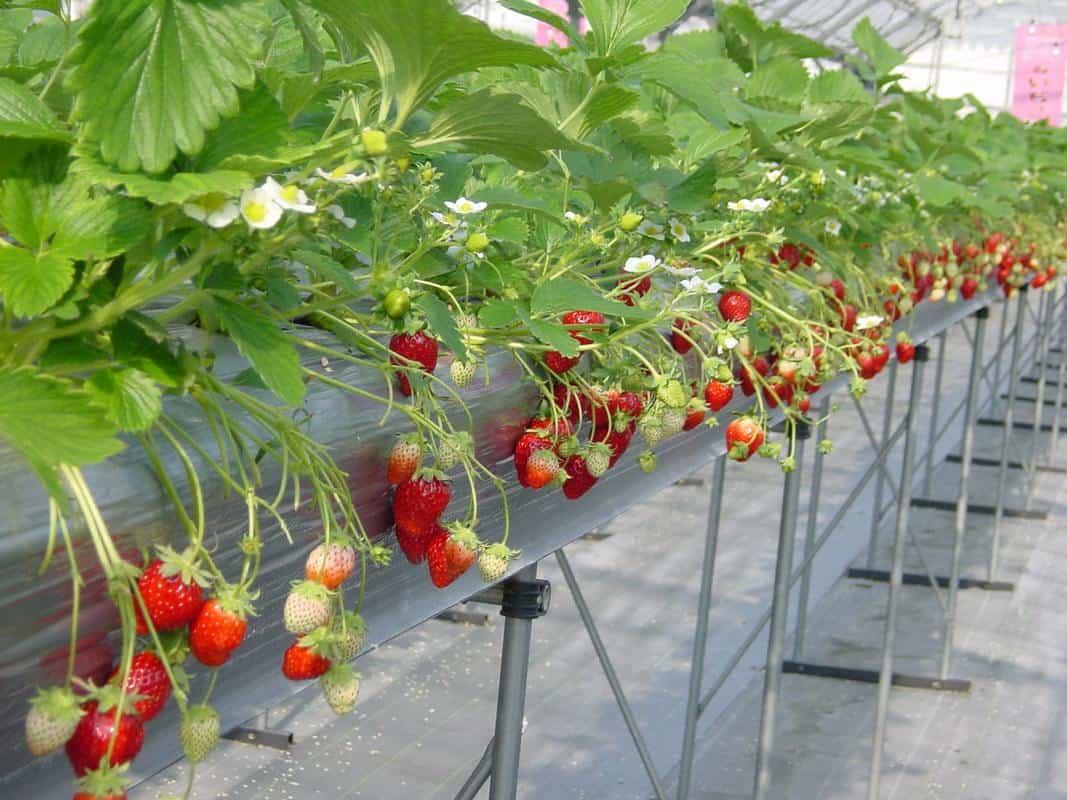 Giàn trồng dâu vườn Tùng Nguyên