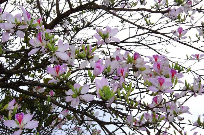 Mùa hoa ban nở