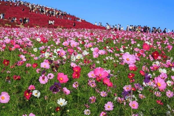 Lễ hội hoa cosmos