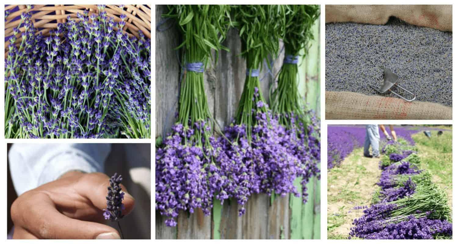 cánh đồng hoa lavender Pháp