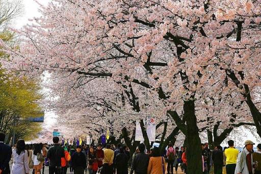 Lễ hội hoa anh đào tháng 3 ở Hàn Quốc