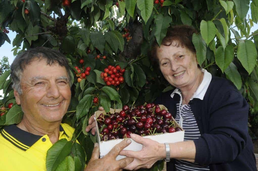 Hái cherry ở Úc