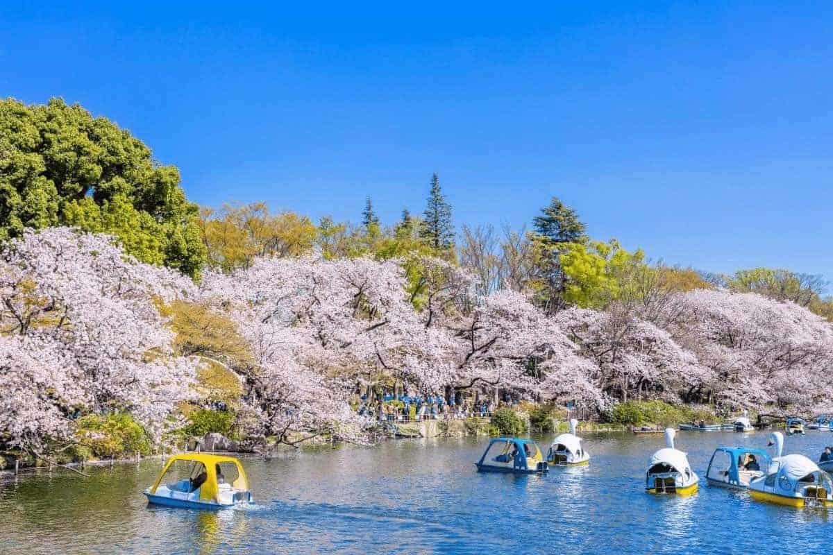 Mùa hoa anh đào nở ở Nhật Bản