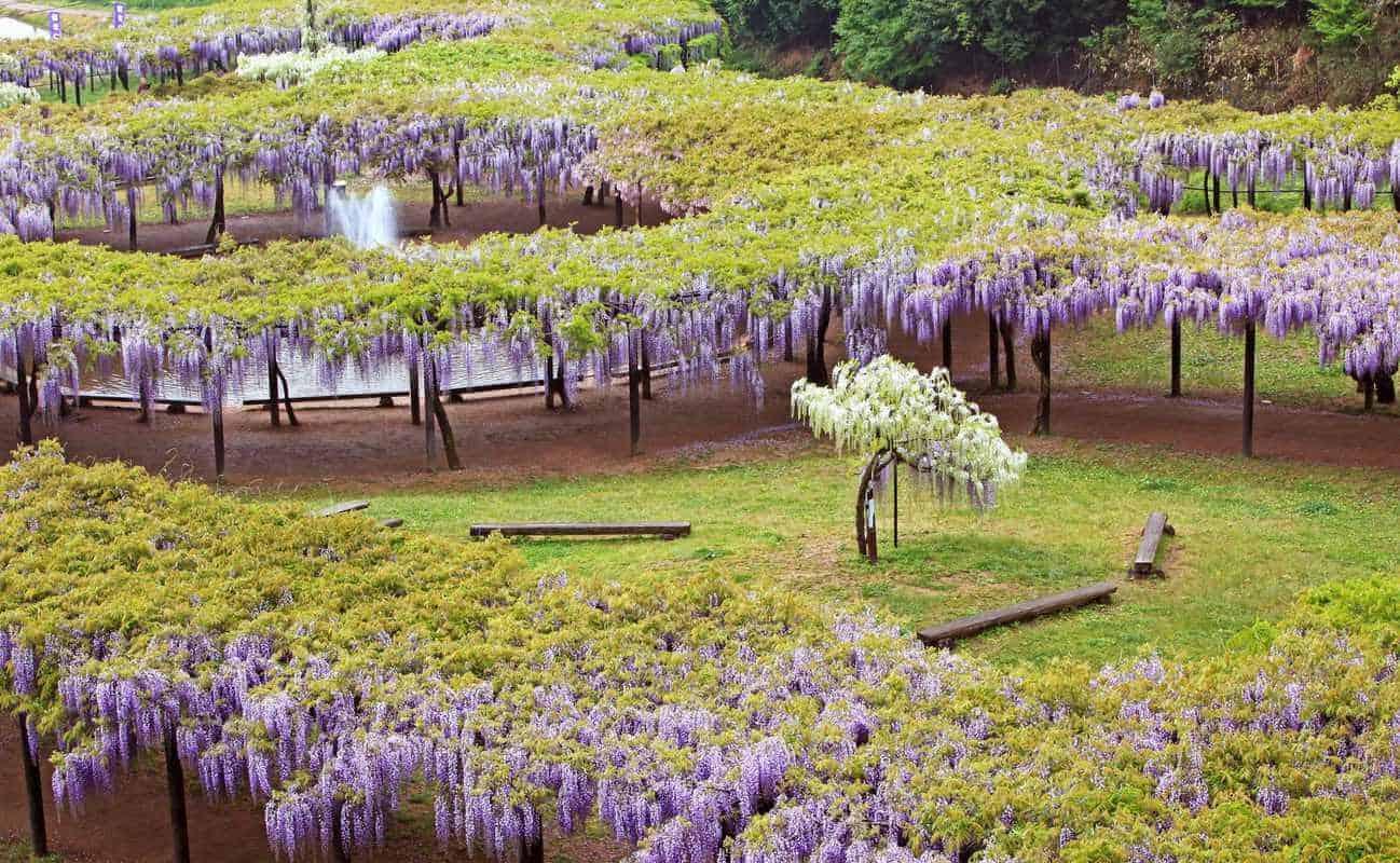 Vườn hoa tử đằng ở Nhật Bản