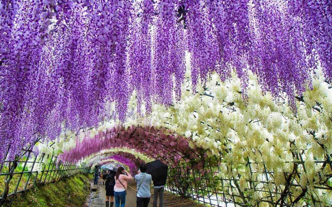 Mùa hoa tử đằng ở Nhật