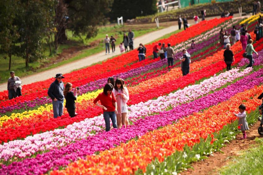 le-hoi-hoa-tulip-
