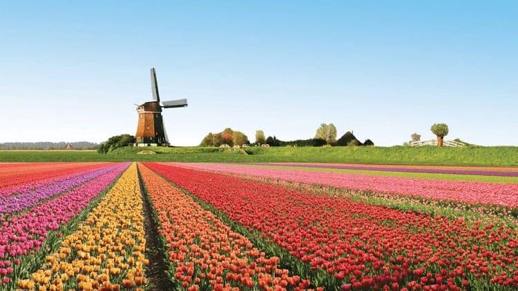 mùa hoa tulip Hà Lan