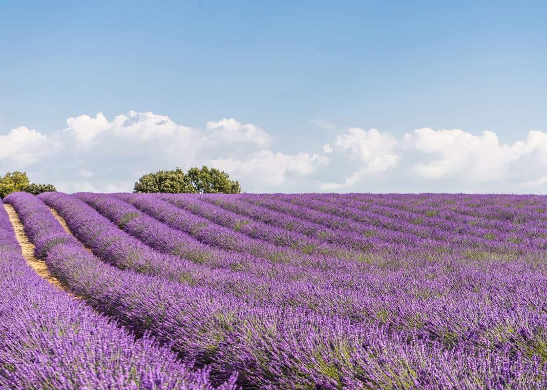 cánh đồng hoa oải hương miền nam nước pháp