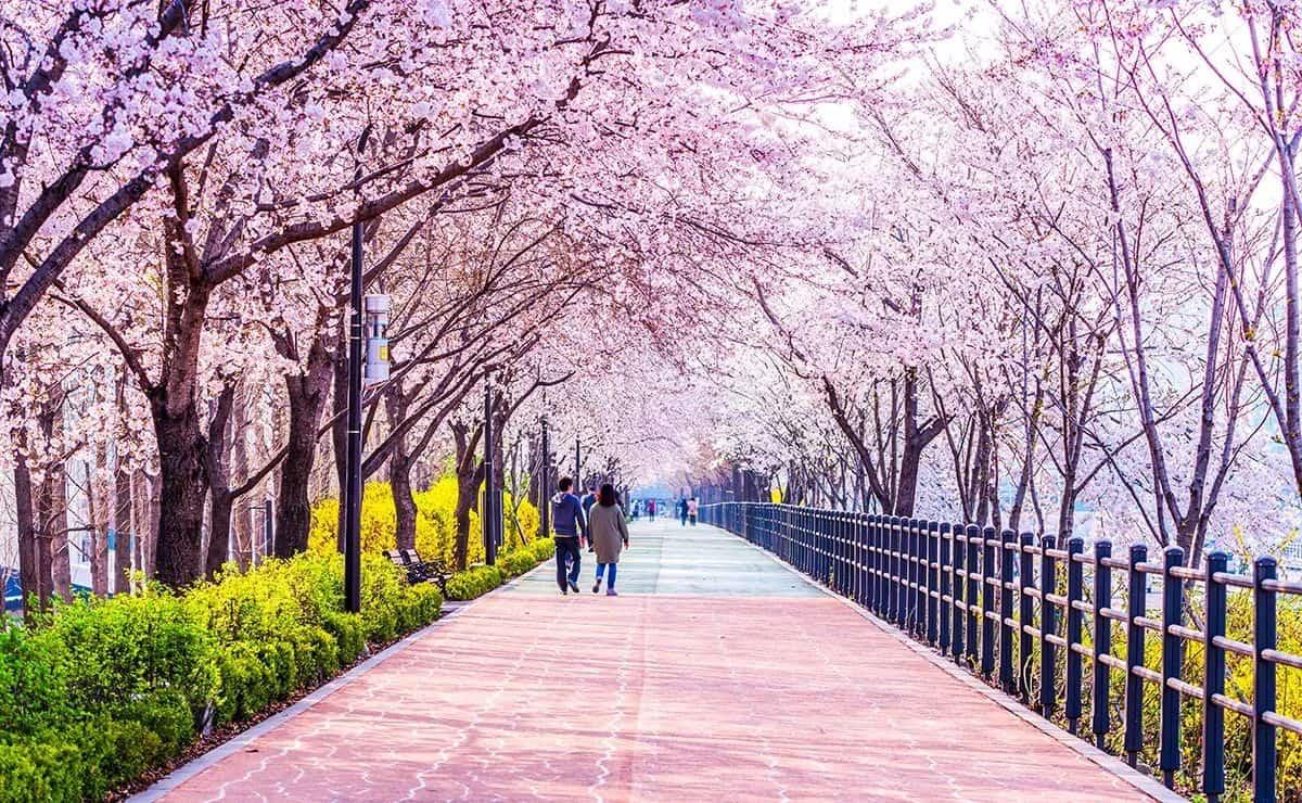tour du lịch hàn quốc mùa hoa anh đào